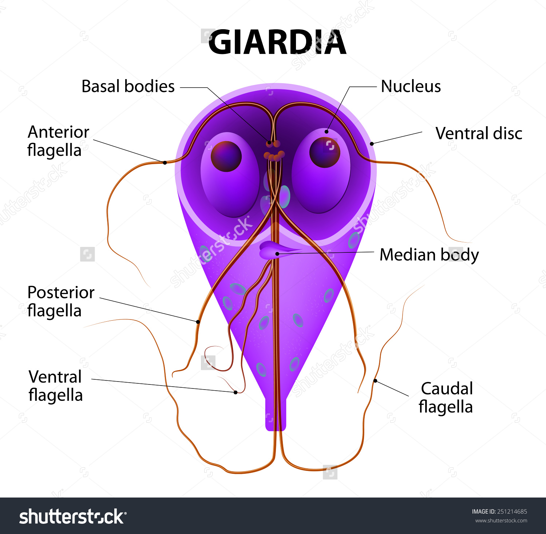 gyomor parazita giardia)