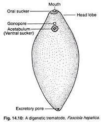 platyhelminth diagram)