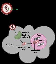 onkogén típusú papilloma vírus)