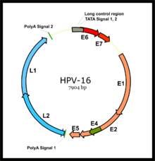 papillomavírus hpv 54