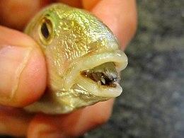 hal paraziták