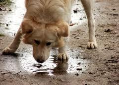 a kutya papillomatosisának kezelése)