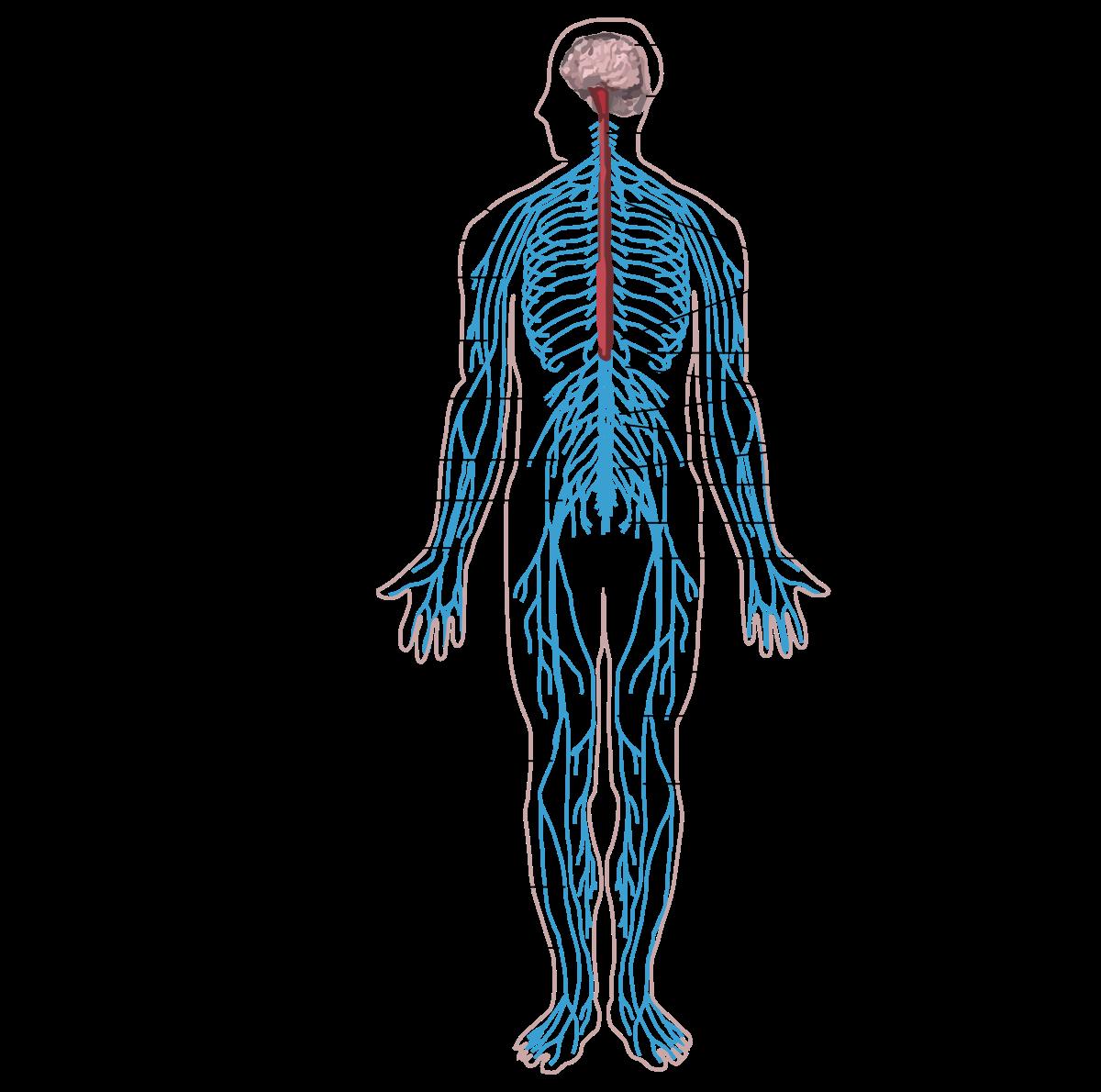 Az emberi test gyógymódjai paraziták gyógyszerek tabletták)