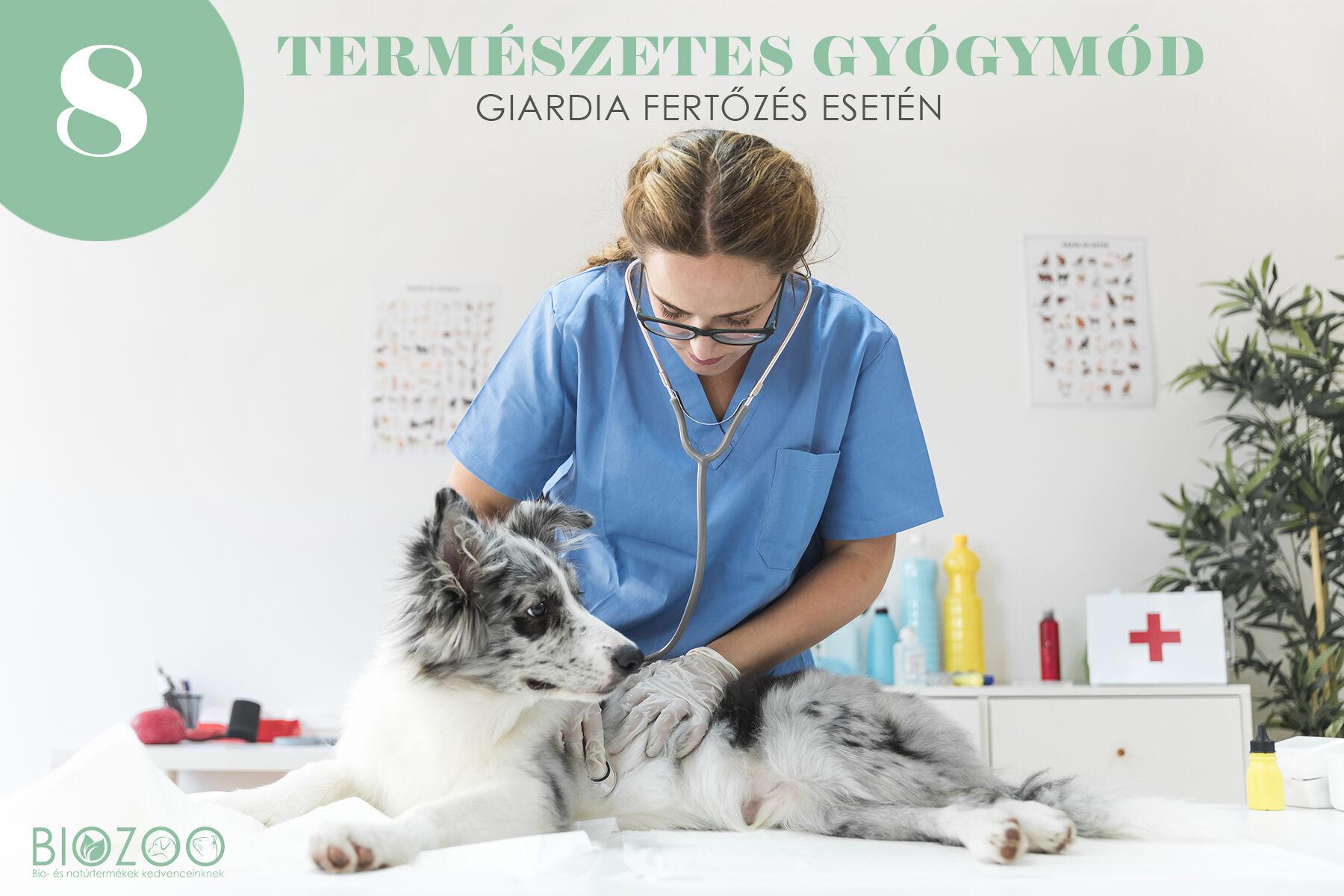 Panacur giardia dosage - Giardiasis kutyákban: leírás, jellemzők, okok és kezelés - Háziállat -