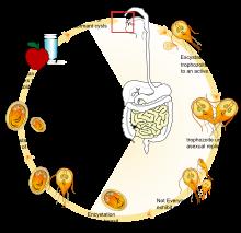 Giardiasis fertőzés forrása - A giardiasis életciklusa