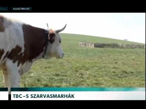 a szarvasmarhák parazita férge)