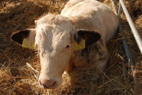 szarvasmarha-fertőzés