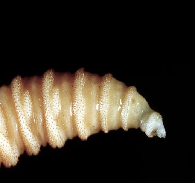 szemölcsök terhesség baba filum platyhelminthes tekercs turbellaria