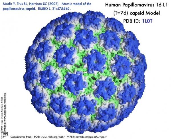 humán papilloma vírus hpv)
