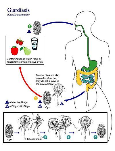 a terhesség giardia kezelése hpv ajak tünetei