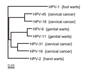 papilloma onkogén vírus