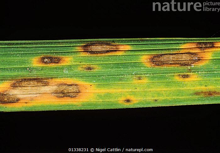 a rizsben található helminthosporium ellenőrzése)