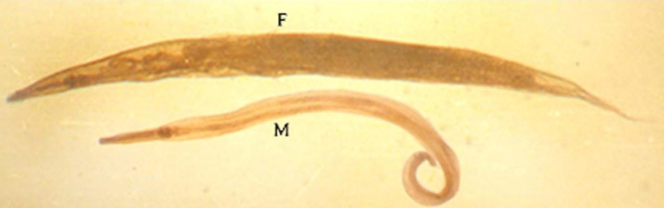 oxyuris vermicularis)