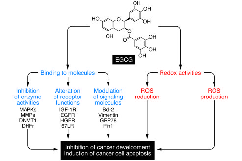 Új molekuláris kezelési lehetőséget azonosított az MTA TTK kutatója a vastagbélrák kezelésére | MTA