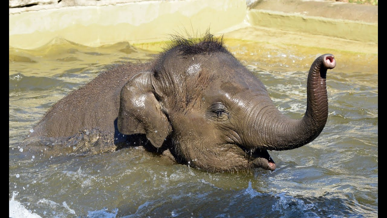 képmutató elefánt és emberi paraziták