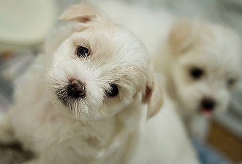 a kutya papillomatosisának kezelése