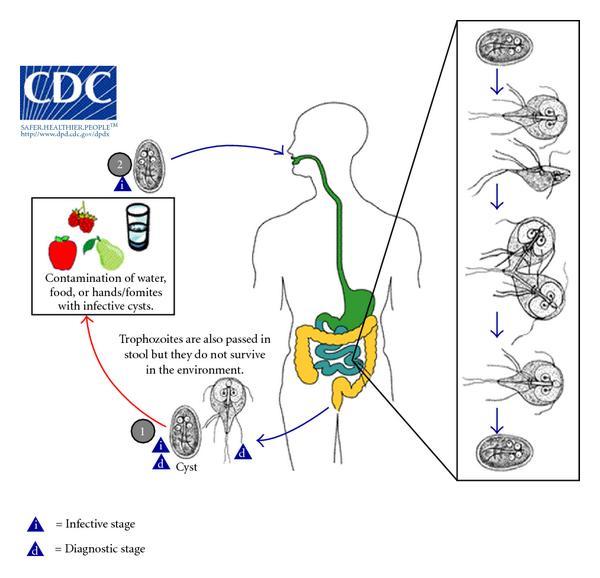 hőemelkedés a Giardia - gajaliget.hu, Giardia diarrhea vomiting