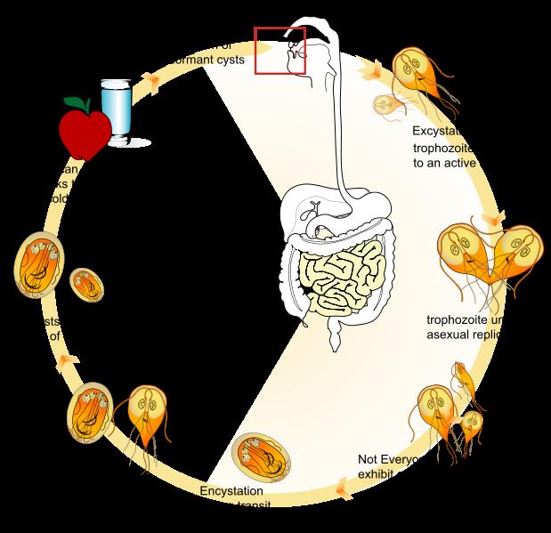 Giardia y ameba, A laktóz hasznos tulajdonságai