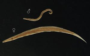 enterobius vermicularis oxyuris