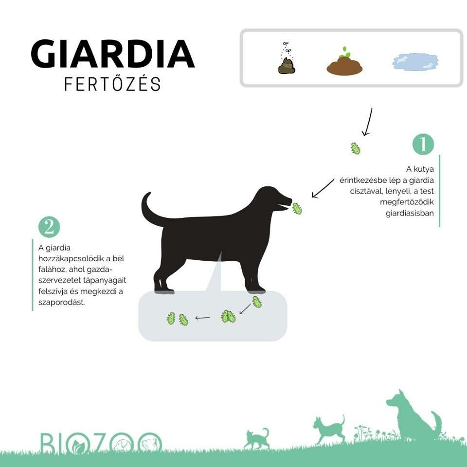 giardia parazita kutya