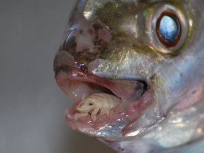 hal paraziták)