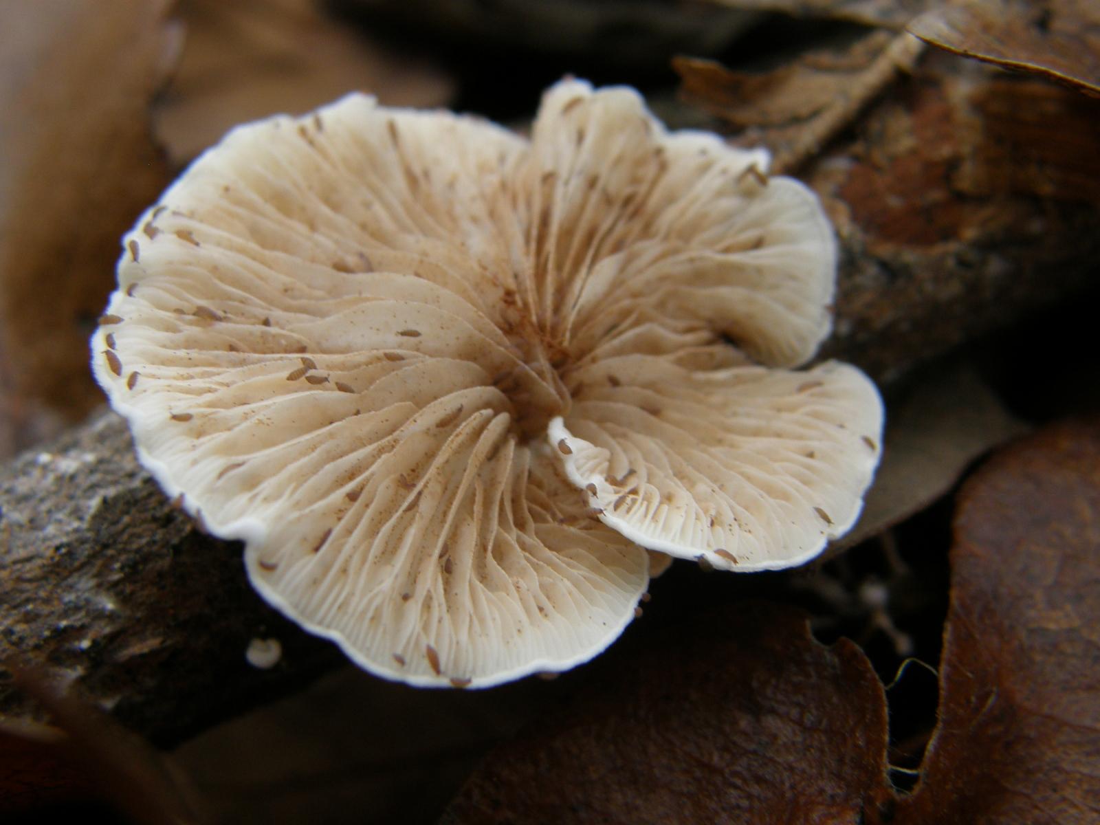szaprofita gombák