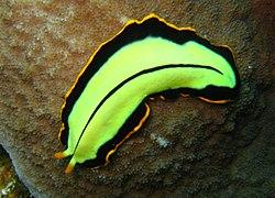 filum platyhelminthes tekercs turbellaria)