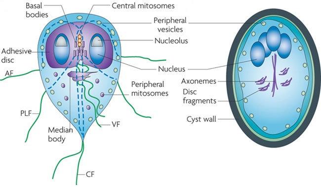 giardiasis a lappangasi eszméjében