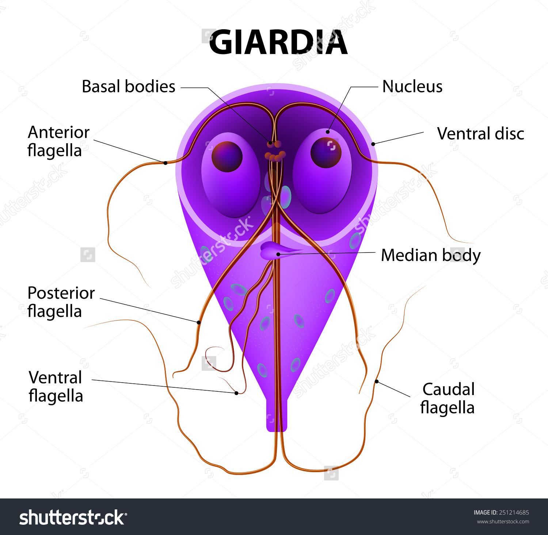 Milyen veszélyes a giardiasis