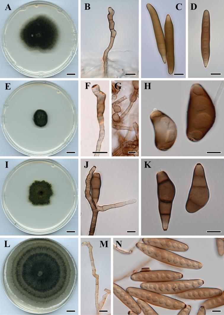 helminthosporium spicifera)