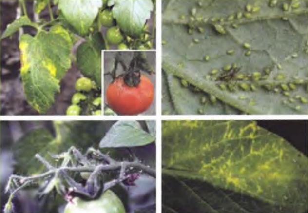 A paradicsom baktériumos betegségei