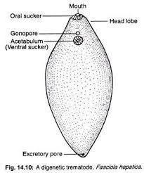 platyhelminth diagram milyen gyógyszereket szed a férgek megelőzésére