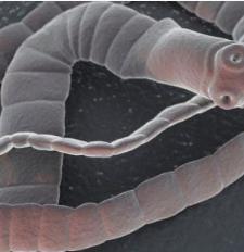 paraziták kezelése szalaggal