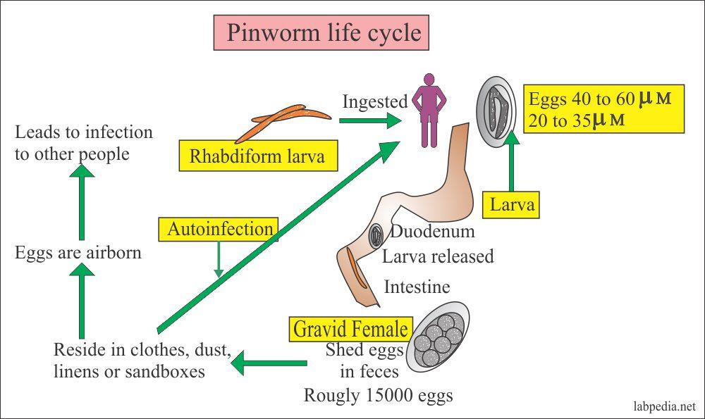 enterobius vermicularis pinworms kezelése megszabadulni a férgektől az ellenséggel