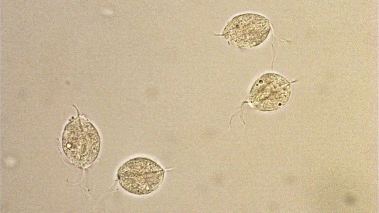 giardiasis és trichomoniasis
