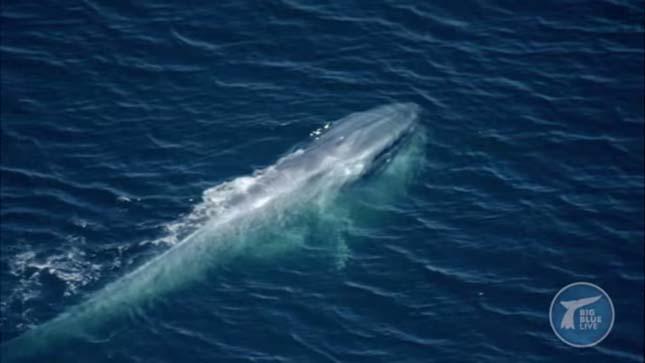 bálna kék kóddal)