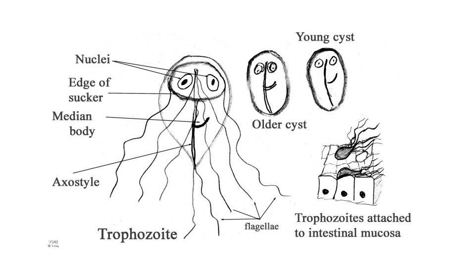 a terhesség giardia kezelése)