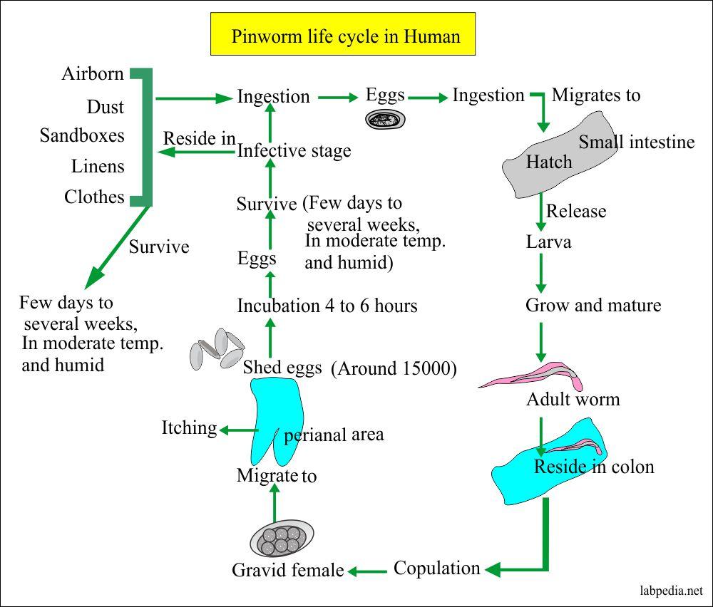 enterobius vermicularis pinworms kezelése)
