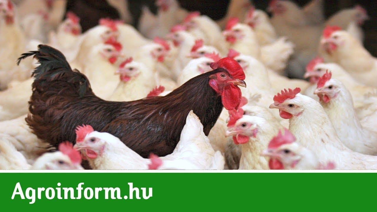 csirkék férgei elleni gyógyszerek